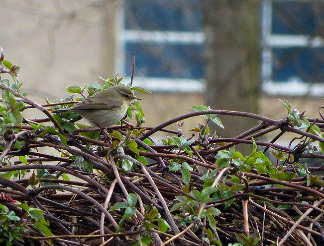De tjiftjaf in de tuin bij de clematis montana 'Rubens'. Het vogeltje is vroeg dit jaar, gezellig!