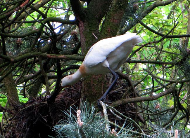 Meneer lepelaar was takken aan het jatten uit een ander nest
