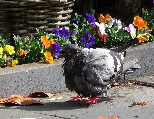 Weinig charmants te bekennen aan duif kokette Katinka