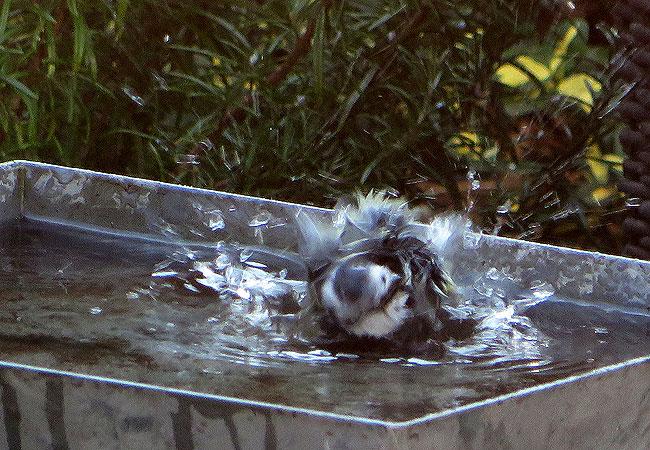 Pimpelmees gaat helemaal 'los' in het bad. Met recht een fanatieke baddergast.