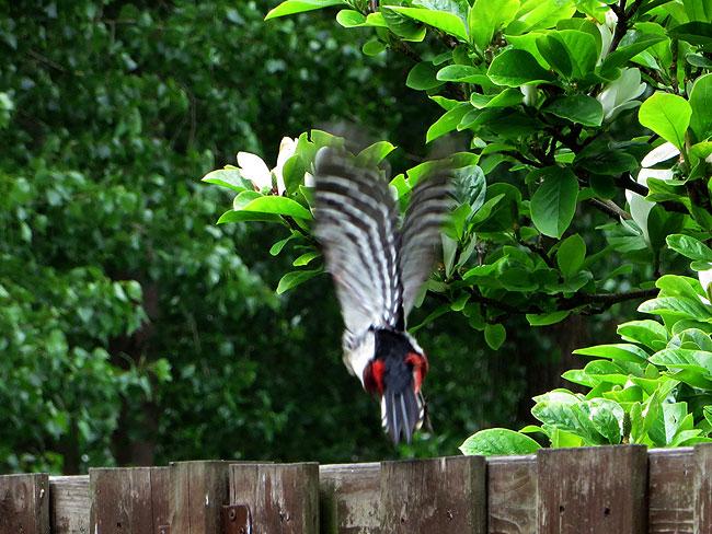 Grote bonte specht vliegt weg. Blijft mooi, die zwart/wit geblokte vleugels