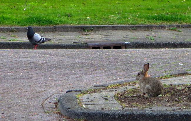 Het echte stadsleven: duif en konijn in de straten van Amsterdam Nieuw-West