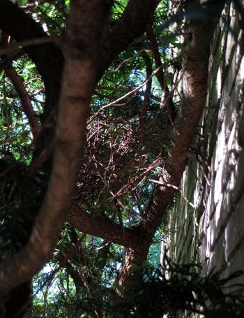 Het nest van de houtduiven uiteen gevallen