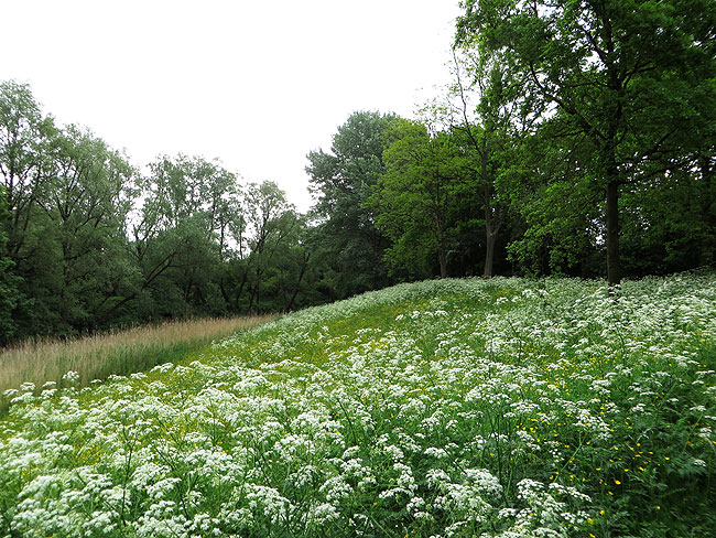 Volop fluitenkruid en boterbloemen langs het Ruige Riet in het Sloterpark