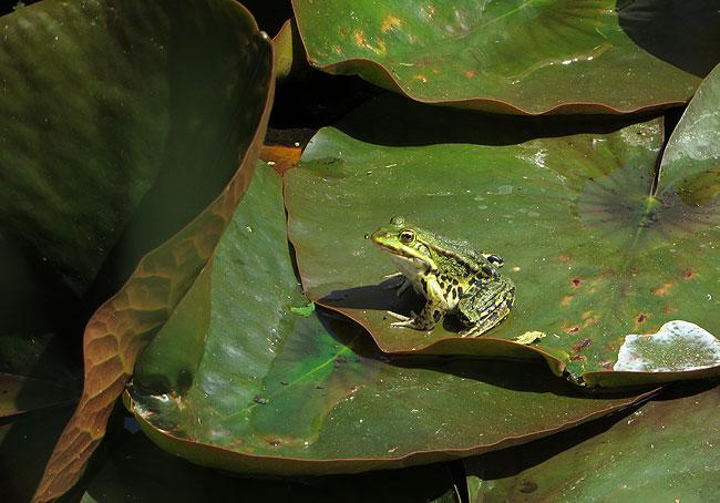 Groene kikkers in de grote kikkervijver