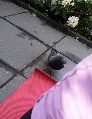 In de tuin: duif Tinus toont interesse voor yoga