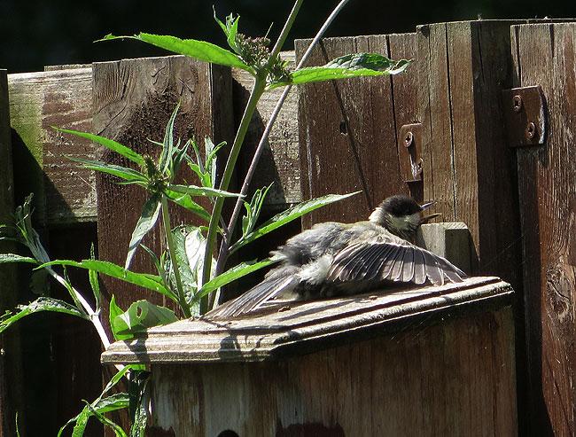 Koolmees ligt op apegapen in de zon, vleugels gespreid