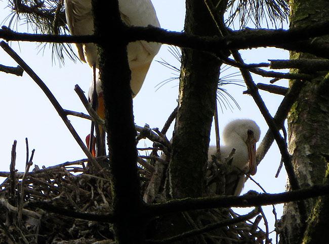 De twee lepelaarsjongen en hun moeder op het nest