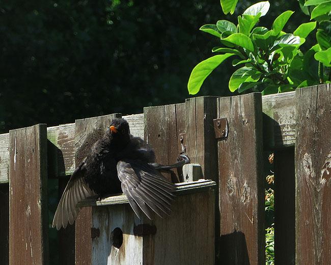 Merel spreidt in de hete zon haar vleugels over de nestkast