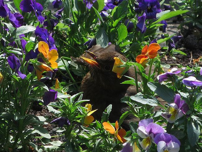 Merel in de zon tussen de violen: standje standbeeld. Bek open en niet meer bewegen...