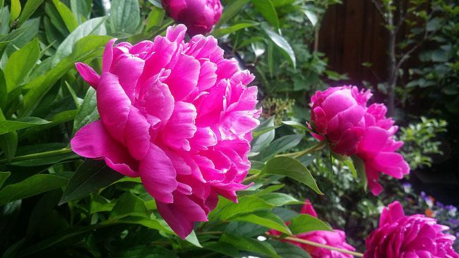 Pioenroos staat weer mooi te wezen in de tuin