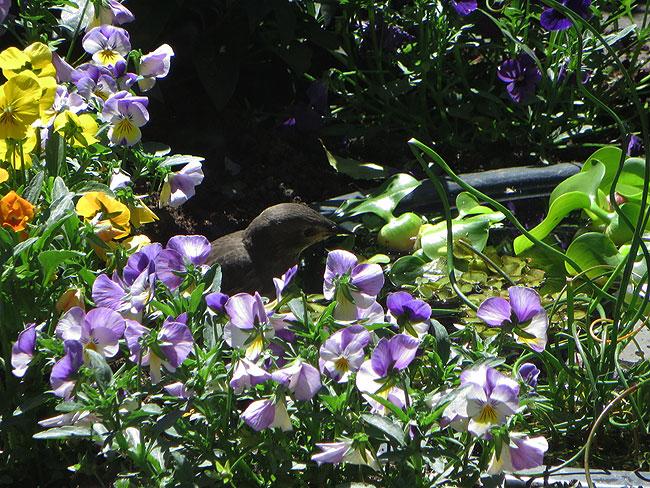 Spreeuwenjong ontdekt minivijver tussen de viooltjes