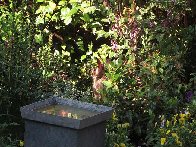 Een konijn in de tuin - Stadsnatuur Amsterdam Nieuw-West