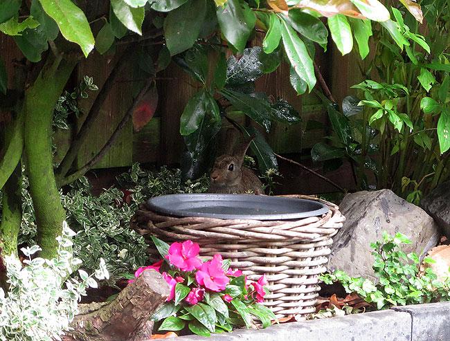 Konijn voelt zich helemaal thuis in de tuin