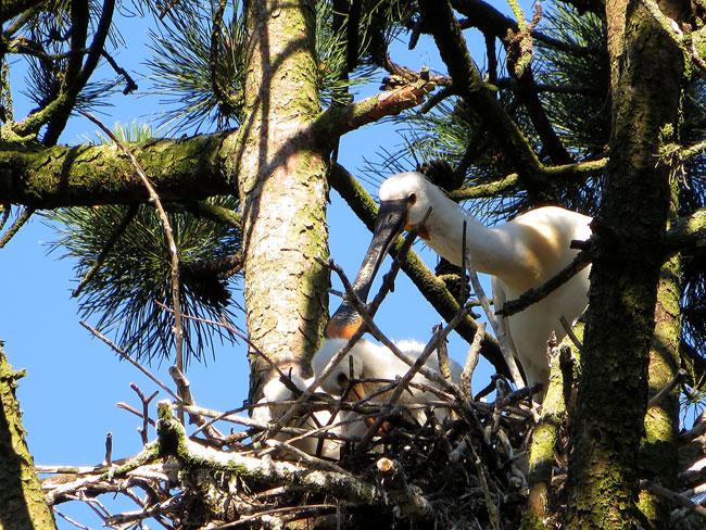 Moeder lepelaar met haar jongen op het nest tussen de reigers - Sloterpark Amsterdam