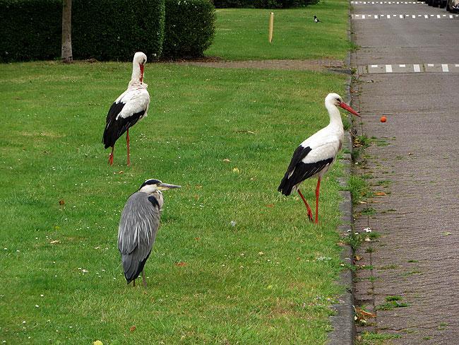 Ooievaars en reiger wachten op eendagskuikens van Willem, maar Willem was niet thuis.