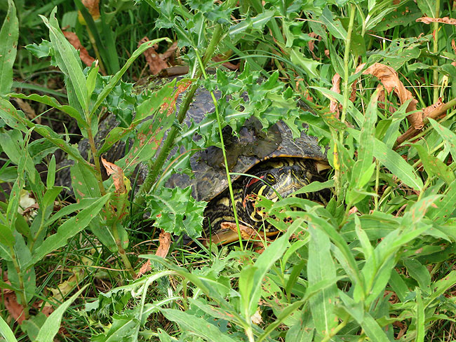 Schildpaddendame druk bezig om gat met eieren te dichten