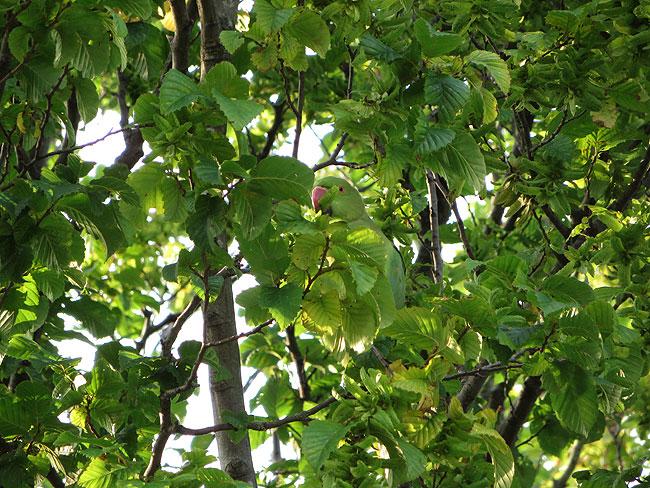 Dader van groen getreiter: halsbandparkiet