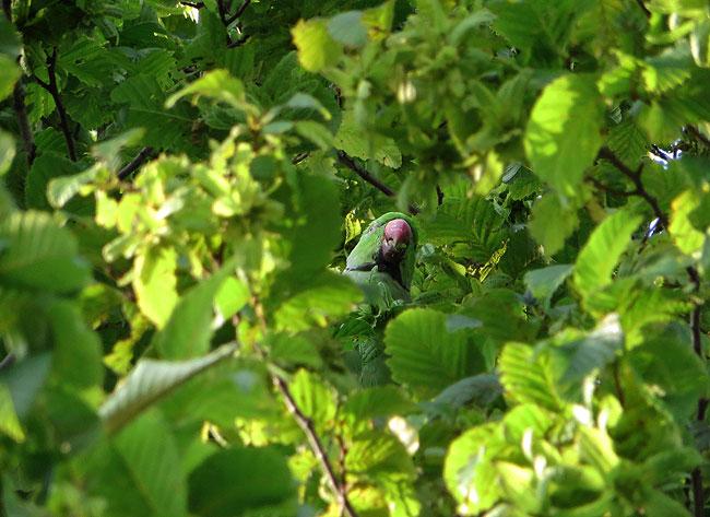 Halsbandparkiet gooit 'propjes' uit de boom, de groene pestkop