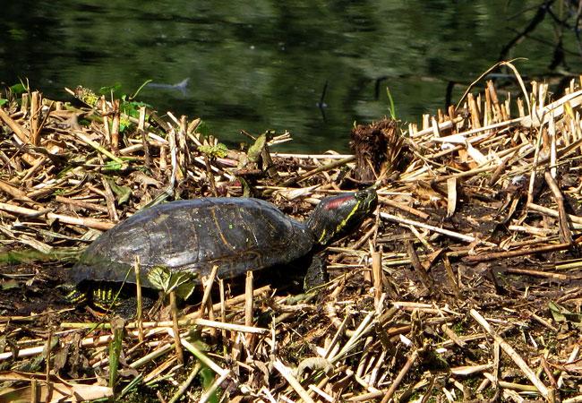 Schildpad in Heemtuin Sloterpark