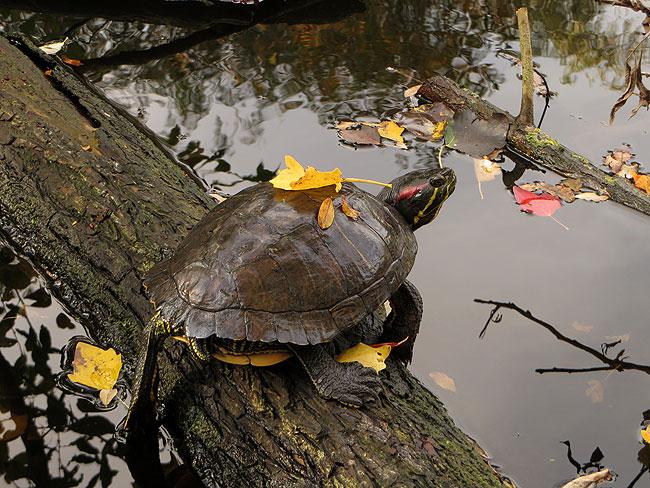 Herfst: de roodwangschildpad met een geel blad op z'n schild