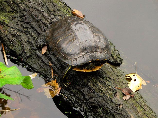 roodwangschildpad-herfst-6