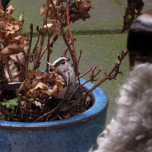 Staartmeesjes ontdekken de hortensia in de blauwe pot