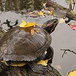 Stadsnatuur in de herfst: de roodwangschildpad in Heemtuin Sloterpark