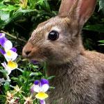 Konijn eet viooltjes uit de tuin