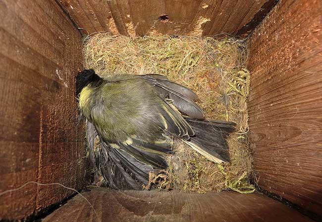 Een dood meesje op het nest in de nestkast.