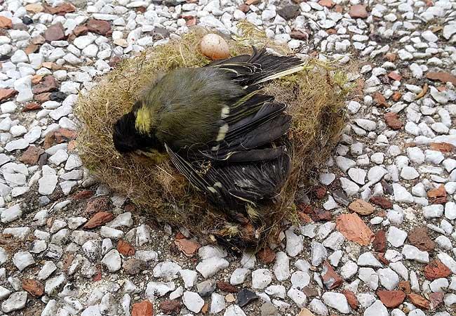 Op het nest de jonge mees met eitje en... een vleugel?