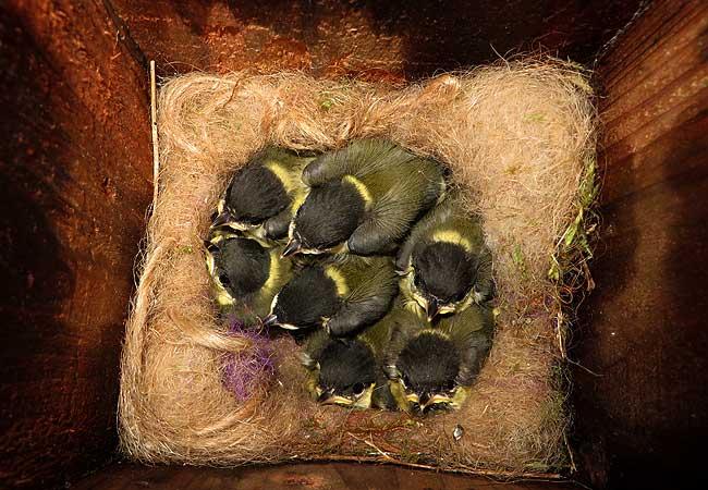 In de achtertuin zeven jonge koolmeesjes in het nestkastje