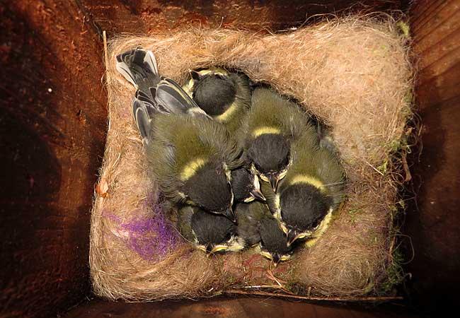 Zeven jonge koolmeesjes op het nest in de nestkast