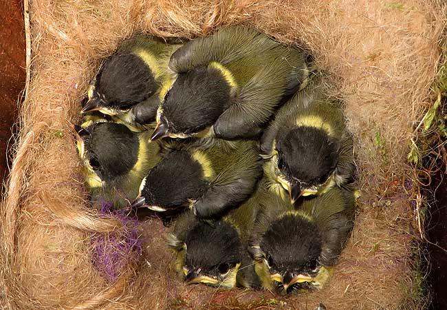 Zeven jonge koolmeesjes in het nestkastje