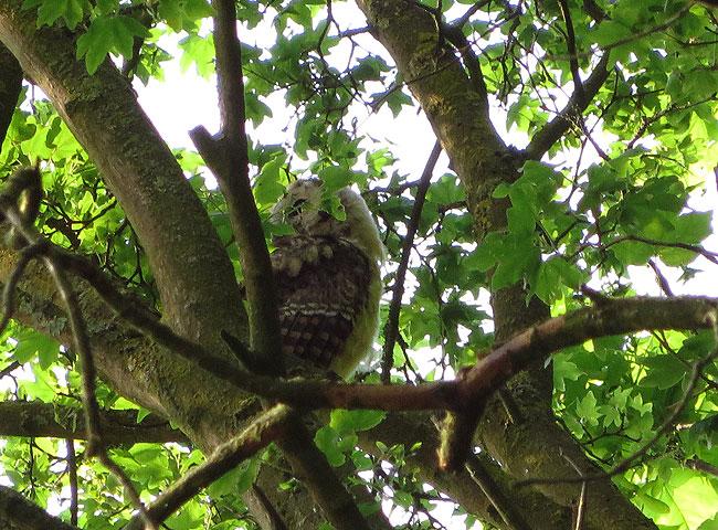 Een juveniele bosuil in een hoge boom in het Sloterpark