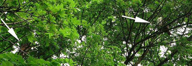 Twee bosuilen in een hoge boom in het Sloterpark