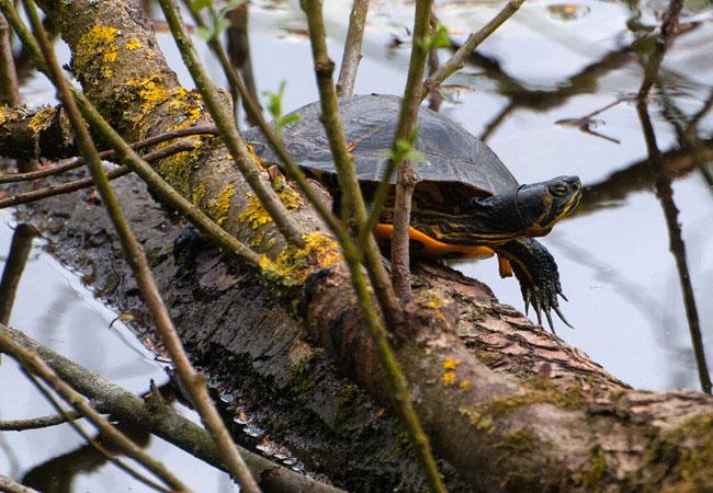 Moerasschildpad/waterschildpad langs Ruige Riet Sloterpark gaat er als een haas vandoor