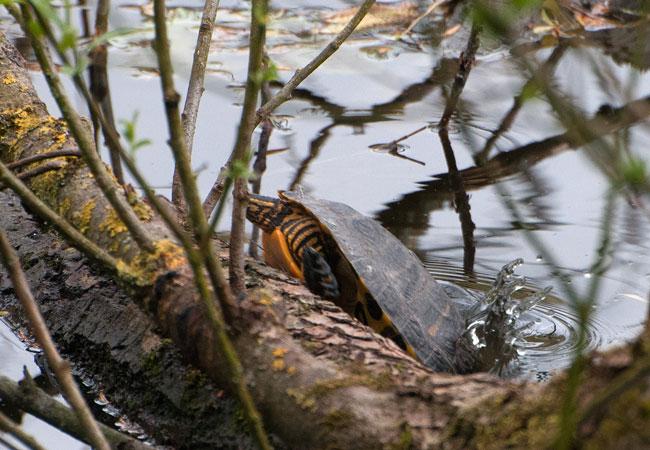 Moerasschildpad langs Ruige Riet Sloterpark gaat er als een haas vandoor: plons!