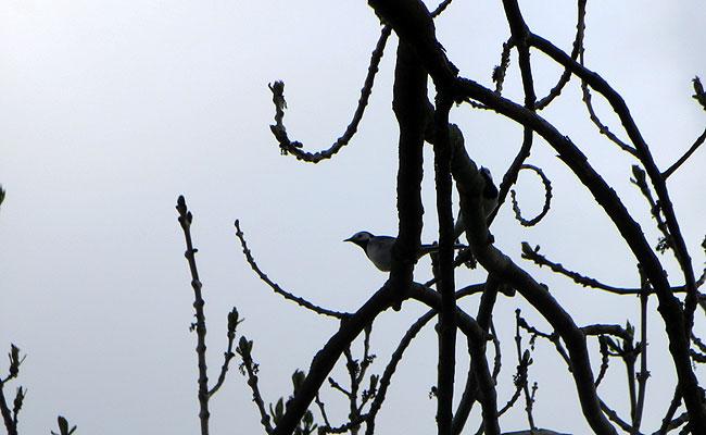 Witte kwikstaartjes hoog in een boom langs de Sloterplas