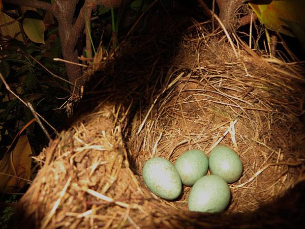 Op 5 mei bleken er 4 eitjes in het merelnest te liggen