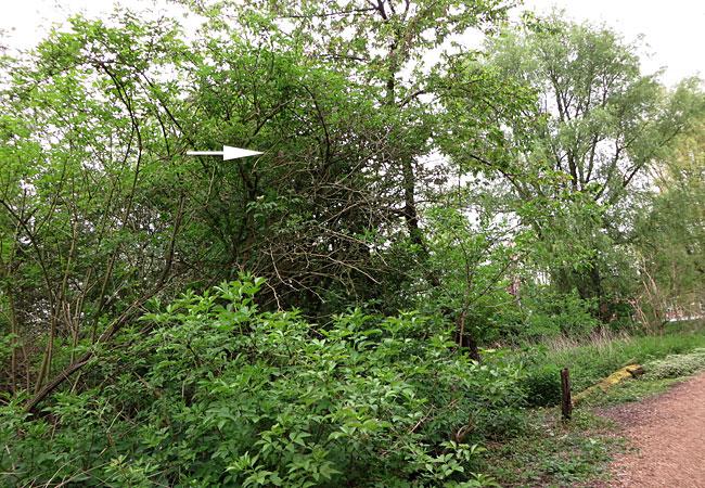 Zanglijster in Ruige Riet Sloterpark