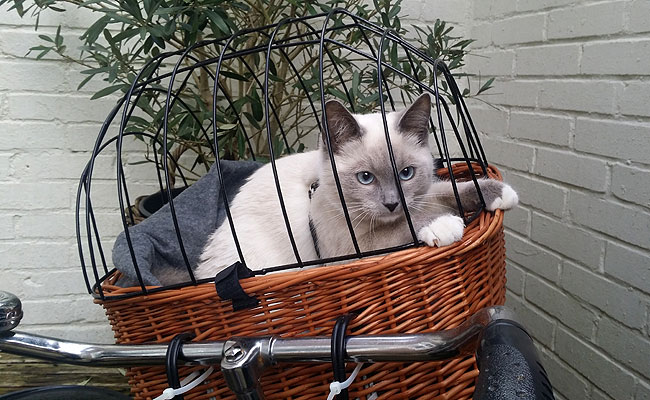 Kitten's first time in the bike basket
