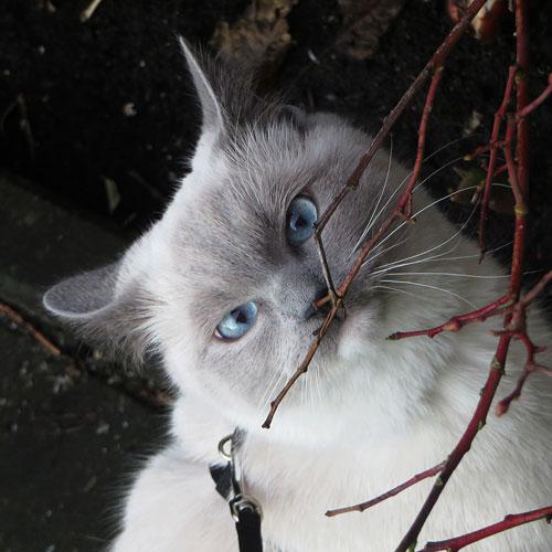 Kattenschat Disney snuffelt aan een takje van de bosbessenstruik