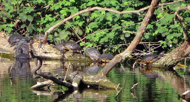 Een hele verzameling, die waterschildpadden (moerasschildpadden)