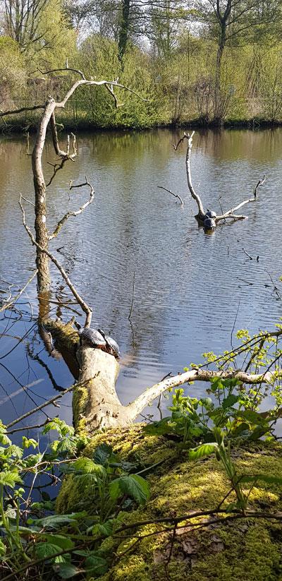 Waterschildpadden genieten aan de waterkant van het Ruige Riet van het zonnetje