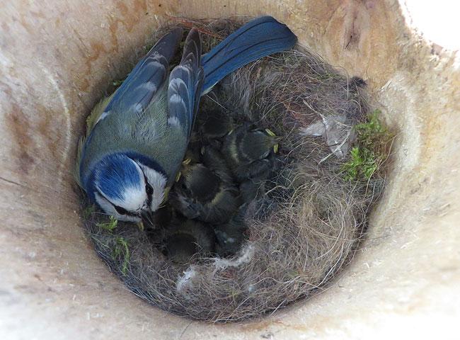 Pimpelmees met jongen op nest in nestkast