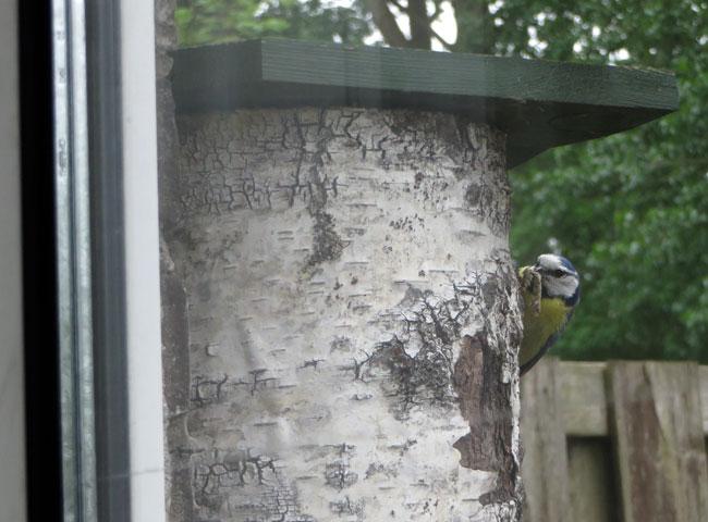Nestkast pimpelmezen naast raam