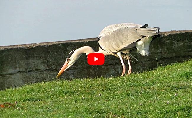 Video - Reiger vangt visje