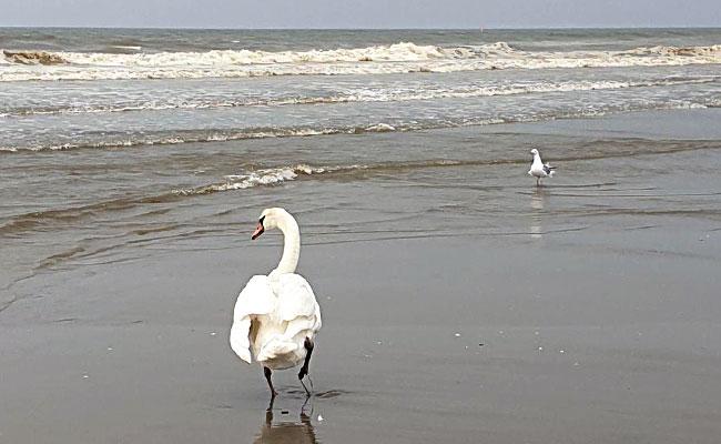 Zwaan maakt strandwandeling