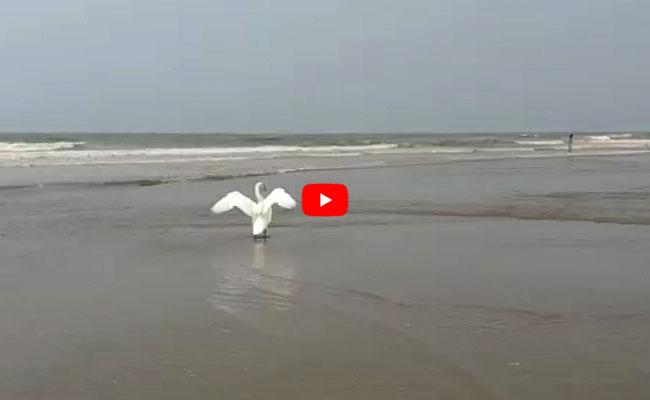 Video - Zwaan op het strand